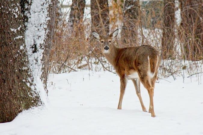 DeWitt begins deer culling through March