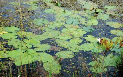 FROM THE CLA: Another invasive plant species in Caz Lake: European frog-bit