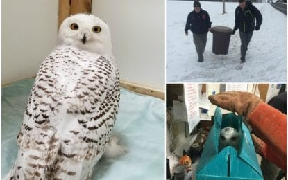 On a wing and a prayer: B'ville natives rescue snowy owl on Christmas Eve