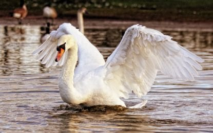 LETTER: Losing Oneida Lake swans is like losing pets