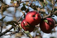 Apple Fever @ Baltimore Woods Nature Center | Marcellus | New York | United States
