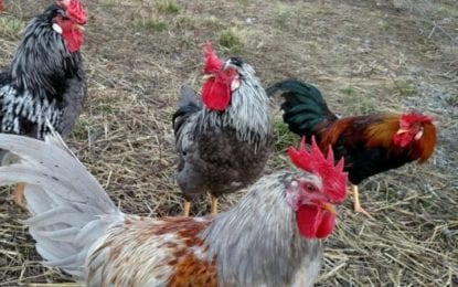Skanda rooster sanctuary partners with ASPCA